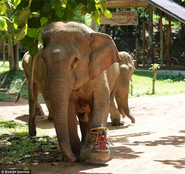 Cô voi có thể đi lại bình thường bằng chiếc giày này. (Ảnh: Evelyn Connor)