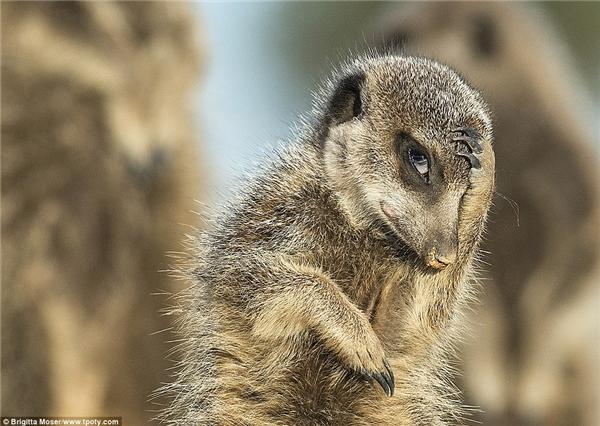 Chú chồn Nam Phi sắc nét và đầy sinh động trong buổi sớm mai tại Little Karoo, Nam Phi. (Ảnh: Brigitta Moser, Áo)
