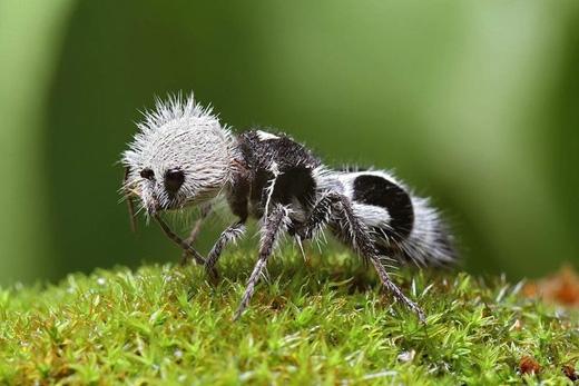 Kiến gấu trúc:Loài sinh vật lắm lông này thực ra là một loài ong không cánh có hai màu trắng đen như gấu trúc. Dù nhìn dễ thương nhưng chúng chích rất đau. (Ảnh: Internet)