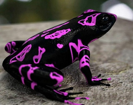 Cóc Atelopus tím:Loài cóc có bộ da sặc sỡ này được phát hiện ở Suriname năm 2007. (Ảnh: Internet)