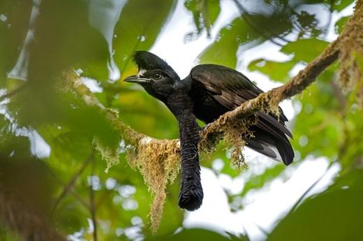 Chim umbrellabird yếm dài:Được tìm thấy ở Colombia và Ecuador, loài chim này có điểm đặc biệtlà con trống có chiếc yếm thịt thò ra từ cổ giống như gà tây, chúng sẽ xù lên để thu hút bạn tình. (Ảnh: Internet)