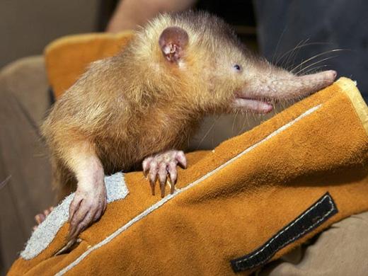 Loài động vật có vú ăn côn trùng này có tên khoa học là Solenodon paradoxus, sống ở Haiti và Cộng hòa Dominica. Nó có thể hạ gục con mồi bằng thứ nước bọt có độc. Tuy nhiên, loài vật này đang có nguy cơ tuyệt chủng vì môi trường sống bị tàn phá và bị chó mèo săn bắt. (Ảnh: Internet)