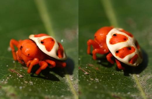 Nhện rùa cam:Hiện tạicó rất ít thông tin về loài nhện đáng yêu này, chỉ biết chúng sống ở Nam Mỹ. (Ảnh: Internet)