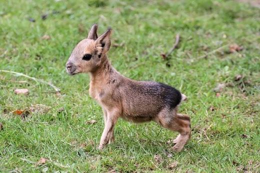 Chuột lang Patagon: Loài chuột này nhìn vừa giống nai vừa giống thỏ, chúng sống ở Argentina, theo hình thức kết đôi vợ chồng. (Ảnh: Internet)