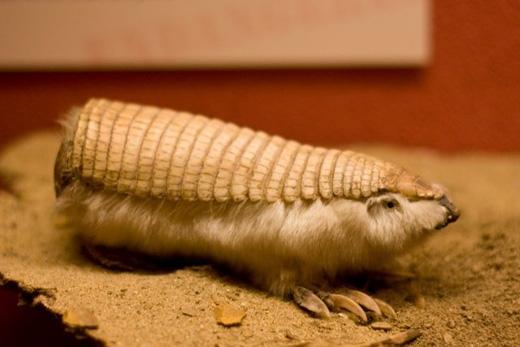 Tatu tiên hồng:Loài tatu này dài chưa đầy 12cm, hình dáng giống như một con bọ cánh cứng lắm lông. Chúng đào hang rất giỏi và sinh sống chủ yếu ở Argentina. (Ảnh: Internet)