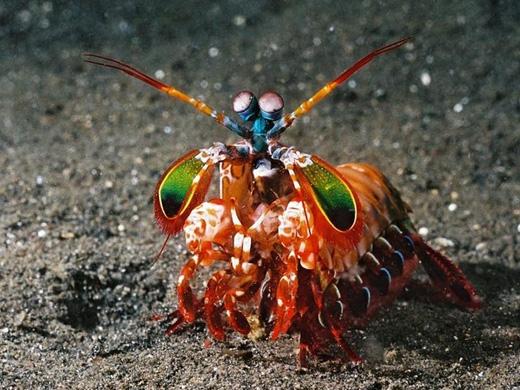 Tôm tít bọ ngựa sặc sỡ:Đây là một loài đặc biệt. Cặp mắt lồi của chúng có thể nhìn thấy được số màu sắc nhiều gấp 10 lần so với mắt người. Đặc biệt hai cánh taycó thể tấn công kẻ thù với vận tốc của một viên đạn. Rất khó bắt được loài tôm này, và chúng có thể đục thủng bất kìchiếc bồn chứa nào. (Ảnh: Internet)