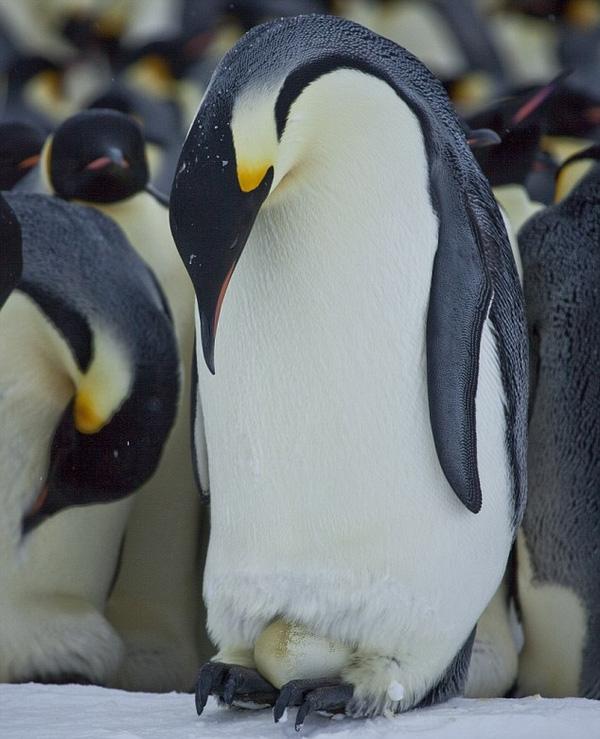 Với chim cánh cụt hoàng đế, không có chuyện đàn bà chỉ ở xó nhà. Mà ngược lại, việc lớn như kiếm ăn là dành cho chim cái làm còn việc nhẹ như ấp trứng, xin mời chim đực vào nhận hàng.