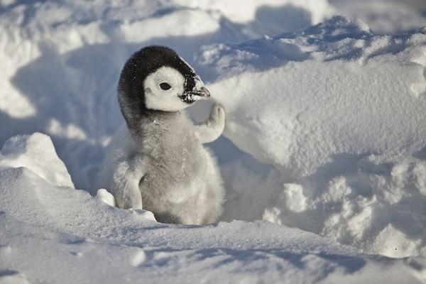 """Để làm tròn bổn phận của """"đấng sinh thành"""", cánh cụt bố sẽ tự động cho con ăn bằng túi sữa bí mật giấu ở tuyến sau cổ họng. Tuy nhiên, túi sữa này chỉ đủ nuôi cánh cụt con trong 1 tới 2 ngày mà thôi."""