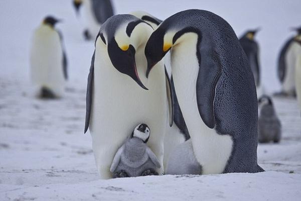 Sau nhiều ngày xa cách, cả gia đình cánh cụt lại có cơ hội đoàn tụ. Mặc dù trong con mắt của chim cánh cụt, con trưởng thành nào cũng như nhau nhưng dựa vào tiếng gọi mà chúng nhận ra nhau.