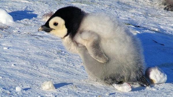 Ở 6 tuần tuổi, cánh cụt con đã mọc lông, mọc cánh và chập chững bước những bước đi đầu đời.