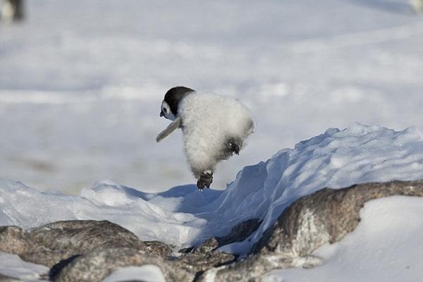 Do cấu trúc cơ thể nên ngã là chuyện bình thường với chim cánh cụt.