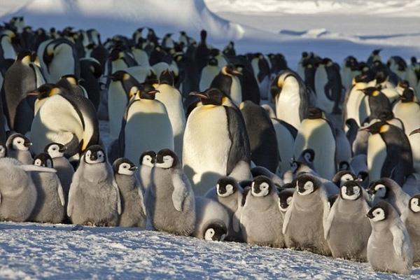 """Sang đến tháng tuổi thứ 2, cánh cụt con bắt đầu """"đi trẻ"""" cùng các bạn. Tại """"ngôi trường"""" có khoảng 40 thành viên, cánh cụt con sẽ được học cách chiến đấu và giữ ấm để sinh tồn trong thời tiết giá lạnh."""