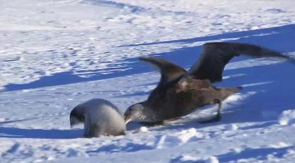 Mùa xuân đến, trong lúc bố mẹ đi kiếm ăn ở xa, cánh cụt con sẽ ở nhà với cánh cụt cái còn tơ. Trong vòng tay bảo vệ của vú em này, chúng sẽ thoát được khỏi trò chơi trốn tìm nguy hiểm mà kẻ săn mồi là chim hải âu.