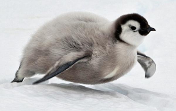 Băng tan cũng là là lúc tuyết trở thành sân trượt băng nghệ thuật cho lũ cánh cụt con tinh nghịch.