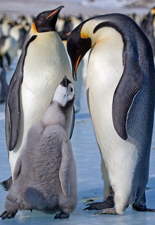 """Bước sang tháng thứ 5, cánh cụt con đã trưởng thành và có thể dọn ra ở riêng. Đến lúc này, cánh cụt bố mẹ không còn phải hộ tống con tới """"sân ga"""" của Nam Đại Dương nữa mà để chúng tự lập ở một chân trời mới."""