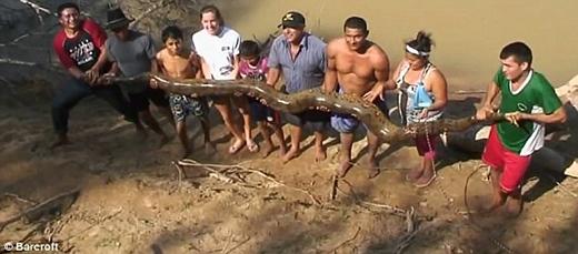 Con trăn này tầm 4 năm tuổi, dài 4,8m và nặng hơn 100kg. (Ảnh: Barcroft)