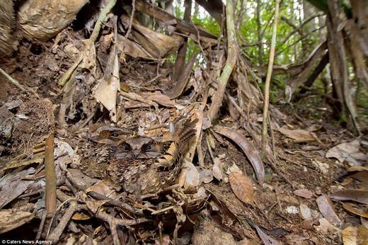 Đôi cú muỗi Madagascargiữa thảm lá khô. (Ảnh: Internet)