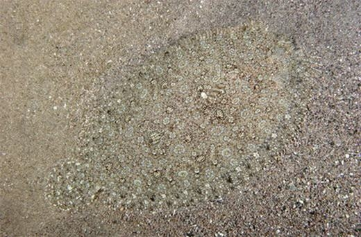 Chú cá thờn bơn dưới nền cát. (Ảnh: Internet)