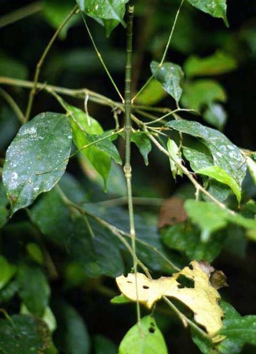 Khi đề cập đến khả năng ngụy trang, bọ que là sinh vật không thể không nhắc tới. (Ảnh: Internet)