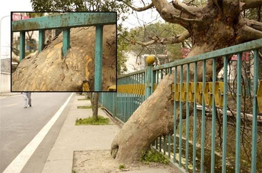 Cây mọc xuyên qua hàng rào sắt tại thành phố Thập Yển, tỉnh Hồ Bắc, Trung Quốc.