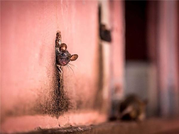 """Một chú chuột """"nhìn đời"""" qua chiếc hang – cũng là một lỗ hổng trên tường gạch."""