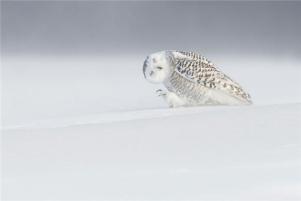 """Một con cú tuyết đang """"suy tư"""". Ảnh chụp tại Canada."""