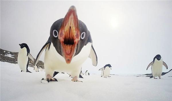 """Sự """"tăng động"""" của chú chim cánh cụt."""