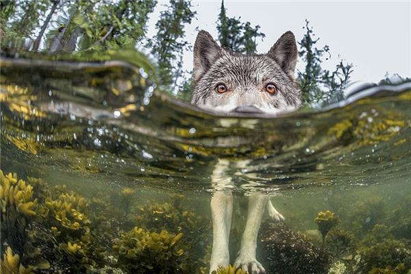 Một con sói đang săn cá, hình ảnh cũng được ghi lại tại Canada bởi nhiếp ảnh gia Ian McAllister.
