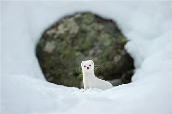 Một chú chuột hamster Winter White cũng ở vườn quốc gia Gran Paradiso, Ý.