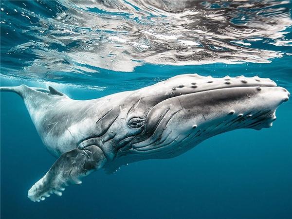 Một chú cá voi con ở Tonga.