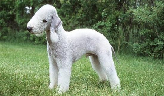 5 loài chó có hình dáng đặc biệt nhất thế giới