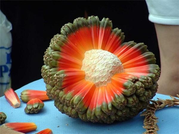 Đây không phải là một quả trứng người ngoài hành tinh. Đây là một loại quả kỳ lạ có tên gọi hala mọc ở Australia và các đảo Thái Bình Dương.