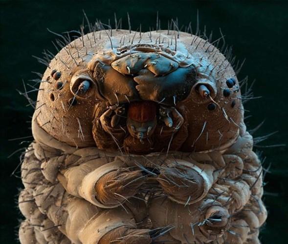 Chân dung kinh khiếp của sâu bướm dưới kính hiển vi.