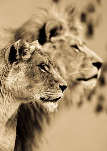 Cặp báo đốm tập trung chăm chú nhìn về phía xa để rình mồi.