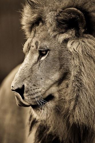 Khoảnh khắc sư tử đực trầm ngâm qua ống kính của nhiếp ảnh gia đầy tâm huyết, Goran Anastasovski.