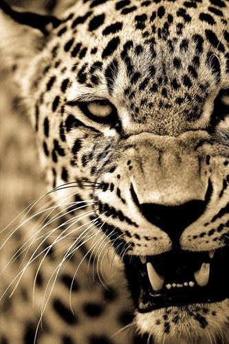Mặc dù răng nanh bị gãy, con báo đốm này vẫn thừa sức giết con mồi to gấp đôi mình nhờ kinh nghiệm thực chiến dày dặn.