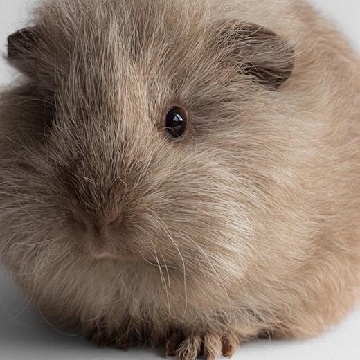 Một bé chuột lang khác tênSookiehiện cũng đang sống với em gái Megan.(Ảnh: lieveheersbeestje/DeviantART)