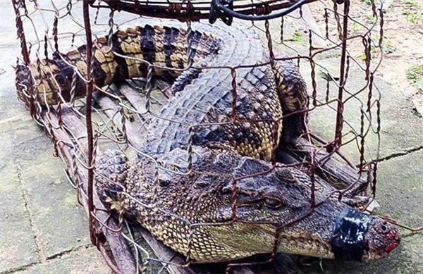 Con cá sấu người dân bắt được. Ảnh: Kiểm lâm Quảng Nam.