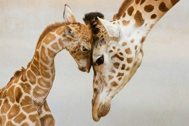 Khoảnh khắcngọt ngào giữa hai mẹ con hươu cao cổ.Ảnh: Jan Pelcman