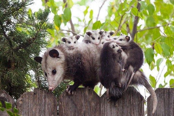 Gia đình nhà Possum quây quần bên nhau mọi lúc mọi nơi.Ảnh: Jeanette DiAnda