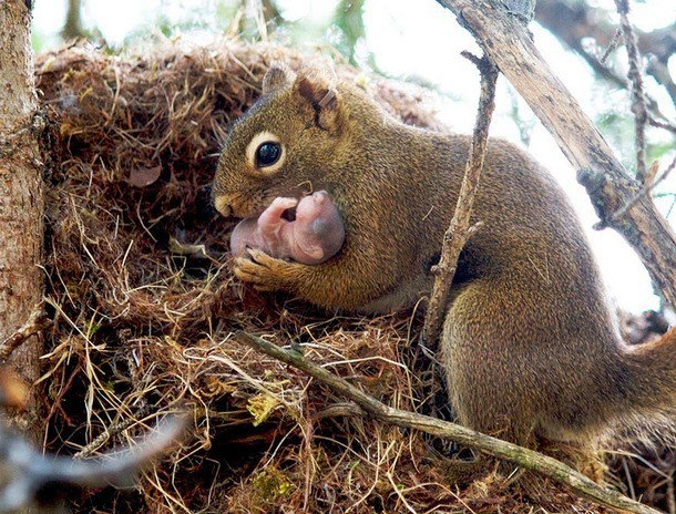 Hàng loạt người đãgiật mình trước tình cảm của sóc mẹ dành cho đứa con bé bỏng vừa chào đời.Ảnh: pensivesquirrel.wordpress.com