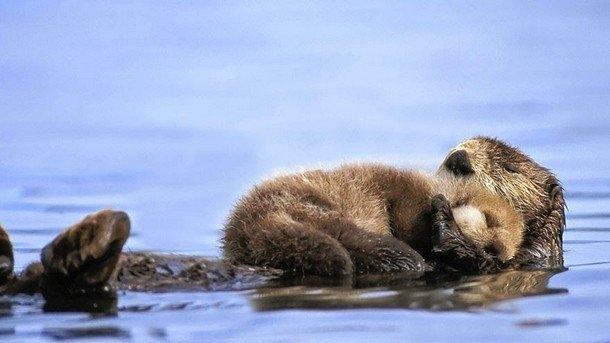 Cách rái cá mẹ ru con ngủ ngon lành thậtđẹp biết bao.Ảnh: hqwide.com