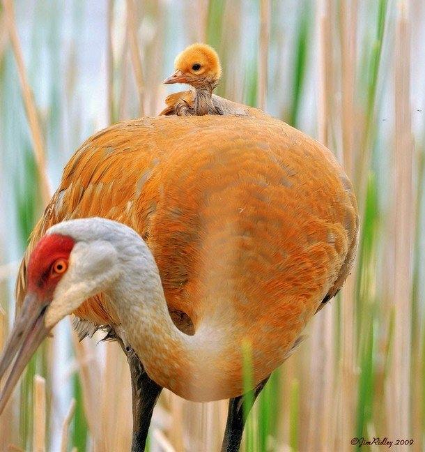 Chim con an toàn trên lưng để chim mẹ yên tầm kiếm mồi.Ảnh: Jim Ridley