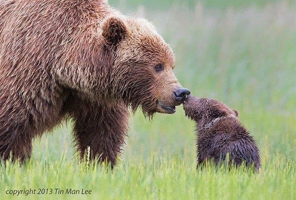 Hình ảnh gấu mẹ âu yếm gấu con gây xúc động mạnh. Ảnh: Tin Man
