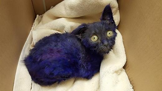 Con mèo 7 tuần tuổi này đãđược đưa đến trung tâm chăm sóc động vậtSan Jose triều trị. (Ảnh: Internet)