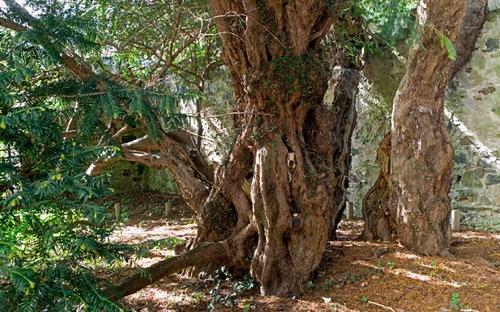 Cây thanh tùng 3.000 năm tuổi. (Ảnh: Internet)