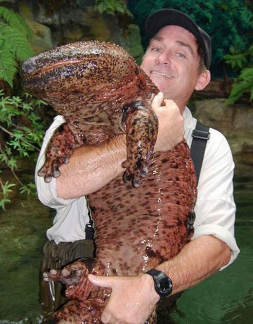 Kì giông khổng lồ Trung Quốc (Chinese Giant Salamander) có chiều dài lên đến hơn 1,8 mét – lớn nhất trong số các loài kì giông. Chúng có thị giác khá kém, nếu không nói là bị mù. (Ảnh: Internet)