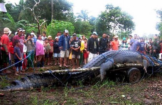 """Cá sấu nước mặn được xem là """"chúa của cá sấu"""" bởi kích thước của nó có thể lên tới 6,5m. (Ảnh: Internet)"""