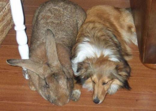 Thỏ Flemish– một trong những loài thỏ lớn nhất thế giới. (Ảnh: Internet)