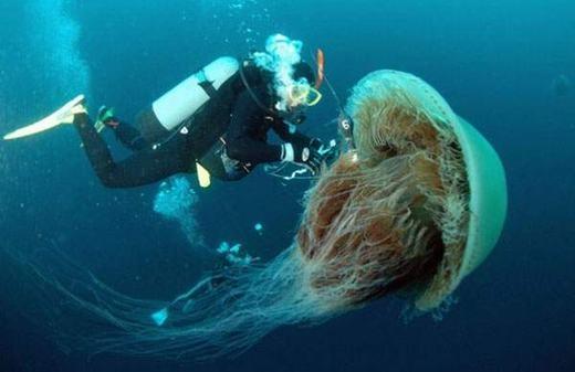 Con sứa này được tìm thấy ngoài khơi biển Nhật Bản. Nó có cân nặng lên tới 200kg. (Ảnh: Internet)